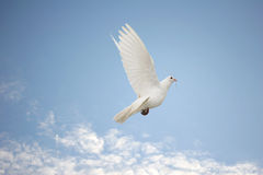 White dove in flight. Beautiful white dove in flight, nesting material in her beak royalty free stock images