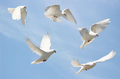 White dove in flight. Composite of a white dove in flight, blue sky background royalty free stock images