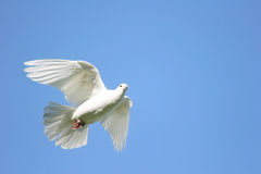 White dove in flight. Beautiful white dove in flight stock images