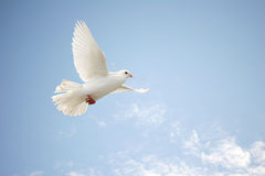 White dove in flight. Beautiful white dove in flight carrying nesting material in her beak stock photo
