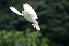 White dove in flight. Beautiful white dove in flight, dark green tree background royalty free stock photos