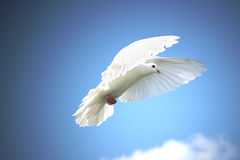White dove in flight. Beautiful white dove in flight, blue sky background royalty free stock photos