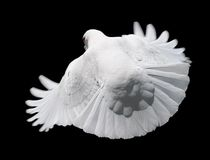 White Dove in Flight 3. A free flying white dove looking over its shoulder. Isolated on a black background Royalty Free Stock Photos