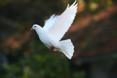 White dove in flight stock images