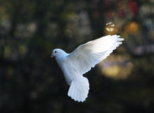 White dove in flight Stock Photography