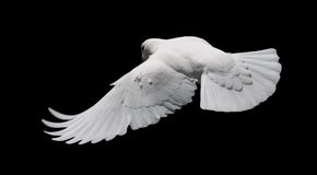 White Dove in Flight 8