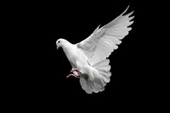 White dove in flight. White dove isolated on black Royalty Free Stock Image