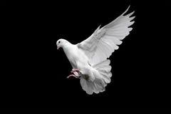 White dove in flight royalty free stock image