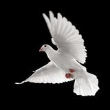 White dove in flight. Flying white dove isolated on black background