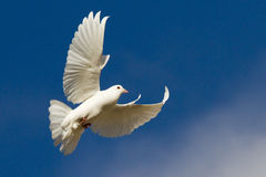 White dove in flight. Against blue sky with white cloud Royalty Free Stock Image