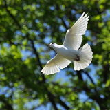 White dove fly. A free flying white dove on a green leaves background royalty free stock photo