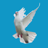 White dove flying. Photo of white dove flying isolated Royalty Free Stock Photos