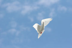 White dove flying in. Beautiful white dove flying in, blue sky background stock image