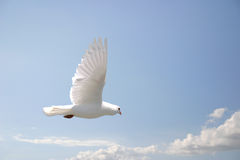 White dove flying. Beautiful white dove in flight, blue sky background royalty free stock images