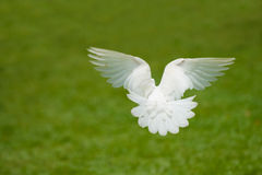 White dove flying Stock Image