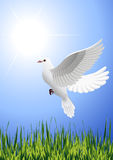 White_dove_flying_above_summer_field Lizenzfreies Stockbild