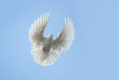 White dove flying. Against the blue sky royalty free stock image