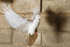 Free White Dove Flying Against The Background Of An Old Cracked Brick Wall Stock Images - 137251744