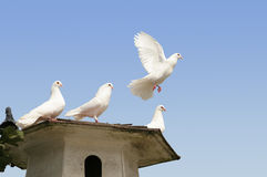 White dove flying away. Beautiful white dove flying away from his family royalty free stock photos