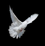 White dove. Flying white dove isolated on a black background royalty free stock images