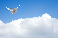 White dove. Flying in the sky Stock Photography