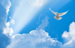White dove flying in the sky. White dove flying in the sun rays among the clouds Stock Photography
