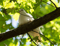 White dove in the forest on a green nature Royalty Free Stock Photos