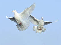 White dove in free flight Royalty Free Stock Image