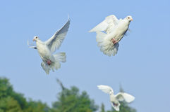White dove in free flight Stock Image
