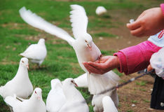 White dove grab food from hand. In the spring park,white dove are grabing food from hands of the vistors Royalty Free Stock Image