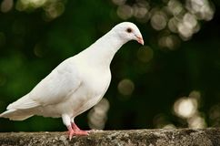 White dove... Royalty Free Stock Photos