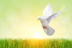 White Dove on green Stock Image