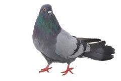 White  dove Stock Photos