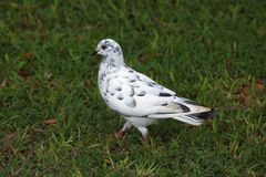 WHITE DOVE WITH GREY MARKINGS ON LAWN. White feral dove with grey markings sitting on green lawn Royalty Free Stock Photography