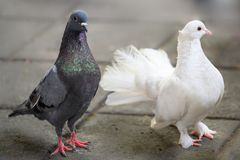 White dove and grey pigeon with some colorful green and violett feathers. Closeup of beautiful white dove head twisted to profile and a grey pigeon together stock photos