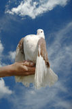 White dove in hand Stock Images