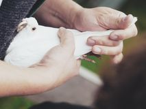 White dove in hand Royalty Free Stock Images
