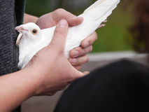 White dove in hand Stock Photography