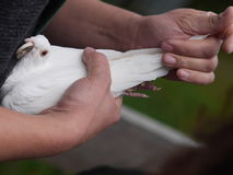White dove in hand Royalty Free Stock Image