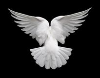 Free White Dove In Flight 2 Royalty Free Stock Photo - 1522785