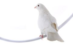White dove. Isolated on a white background stock photography