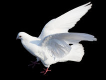 White dove isolated on black Royalty Free Stock Photos