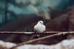White Dove like symbol of peace Stock Photography