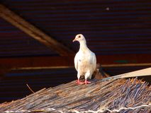 White dove. Little white pigeon. Pigeon on the thatched roof. royalty free stock photography