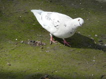 White dove looks askance Royalty Free Stock Image