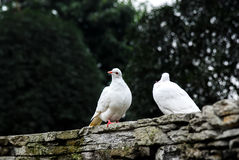 White dove in love Royalty Free Stock Photography