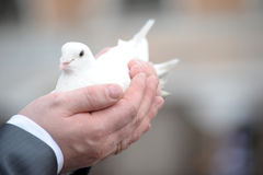 White dove in male hands Royalty Free Stock Photo