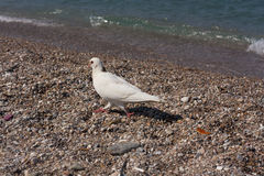 White dove near sea Royalty Free Stock Photos