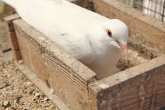 White dove in the nest Stock Images