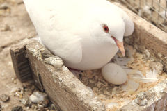 White dove in the nest Stock Photography